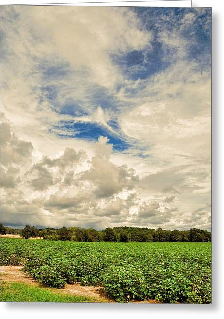 Georgia Cotton Fields Greeting Cards - Late Summer Cotton Greeting Card by Jan Amiss Photography