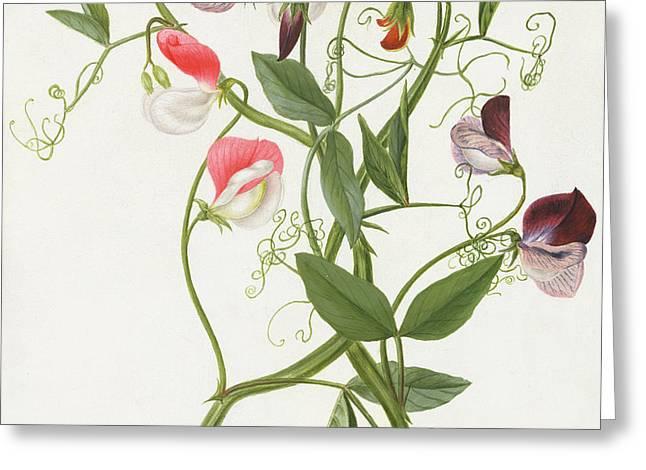 Flower Still Life Prints Greeting Cards - Lathyrus Odoratus Greeting Card by Matilda Conyers