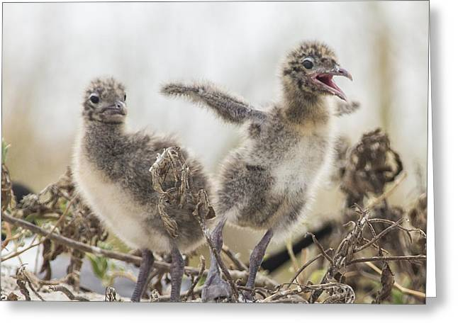Laughing Jesus Greeting Cards - Laughing Gull Chicks Greeting Card by Paula Porterfield-Izzo