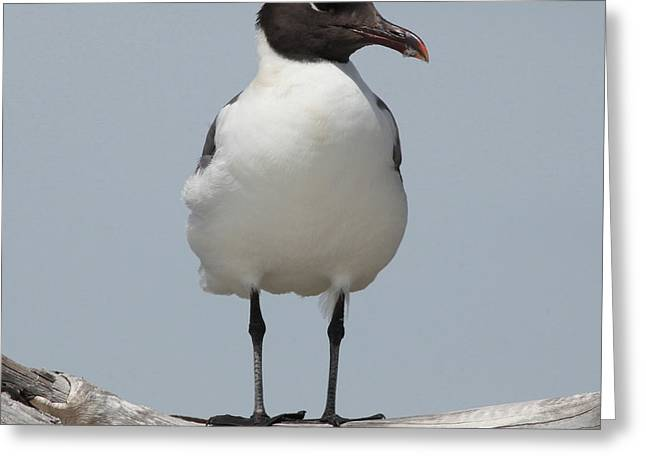 Sea Birds Greeting Cards - Laughing Gull Greeting Card by Joseph G Holland