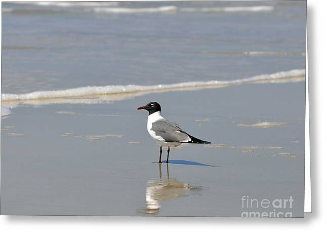 Birdwatcher Greeting Cards - Laughing Gull Reflecting Greeting Card by Al Powell Photography USA