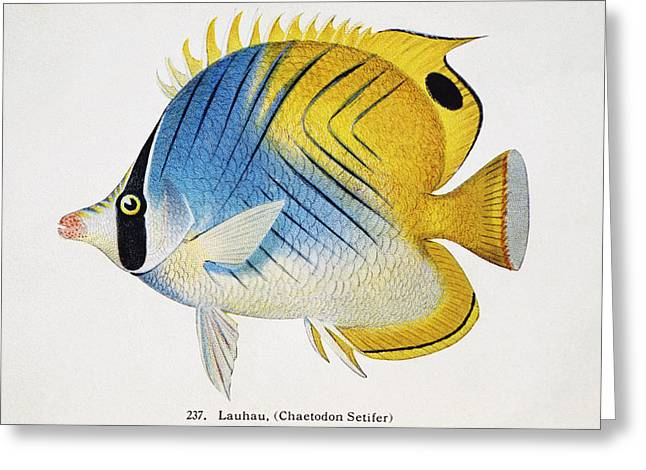 Frederick Greeting Cards - Lauhau Greeting Card by Hawaiian Legacy Archive - Printscapes