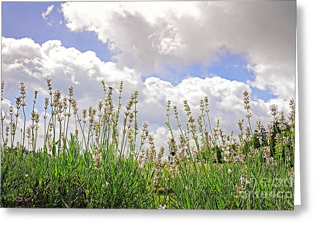 Space Photographs Greeting Cards - Lavender augustifolia alba Greeting Card by Charline Xia