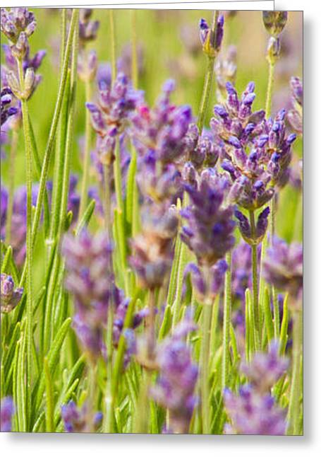 Lavender Field Greeting Card by John Basford