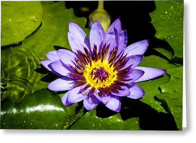 Lilly Pads Greeting Cards - Lavender Fireworks Greeting Card by Teresa Mucha