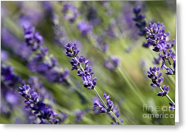 Organic Greeting Cards - Lavender flower Greeting Card by Dan Radi