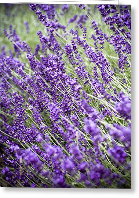 Lavender Greeting Card by Frank Tschakert