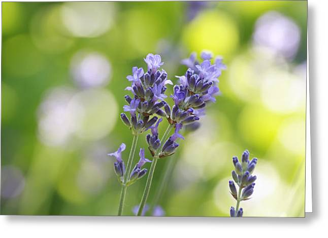 Lavender Garden Greeting Card by Frank Tschakert