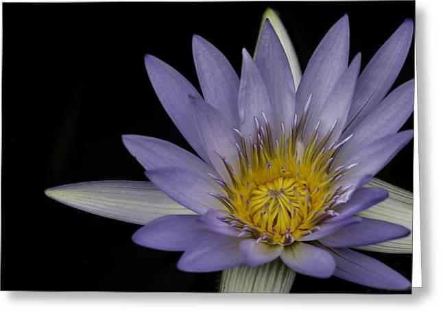 Aquatic Greeting Cards - Lavender Lotus Flower Greeting Card by Greg Thiemeyer