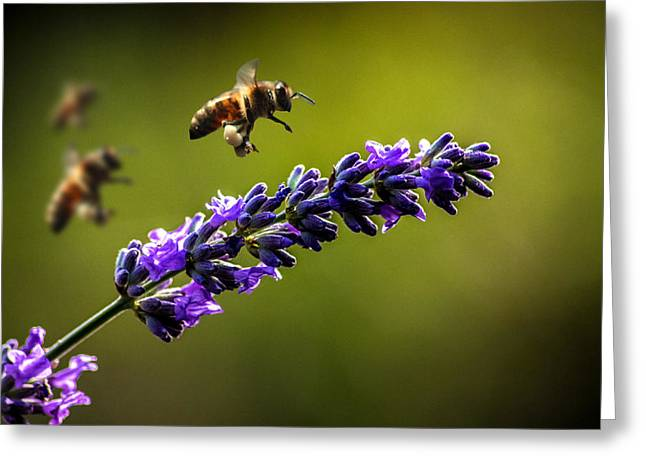 Essex Greeting Cards - Lavender Greeting Card by Martin Newman