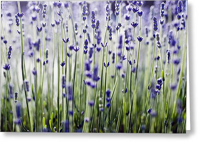 Lavandula Greeting Cards - Lavender Patterns Greeting Card by Ray Laskowitz - Printscapes