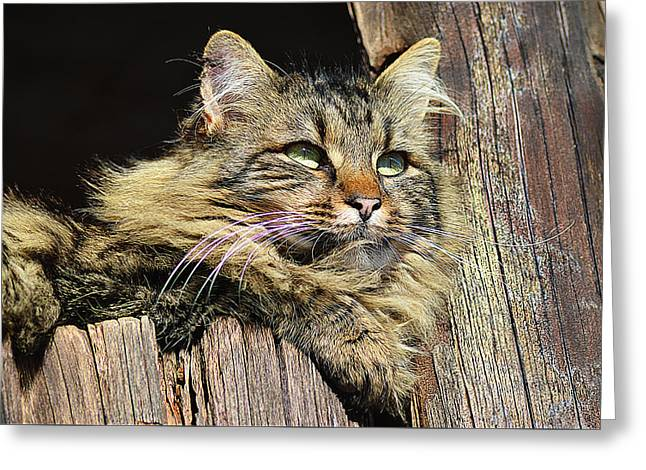 House Pet Greeting Cards - Lazy cat on window Greeting Card by Queso Espinosa