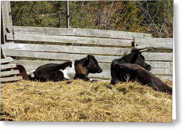 Maine Farms Greeting Cards - Lazy Cows and Weathered Wood Greeting Card by William Tasker