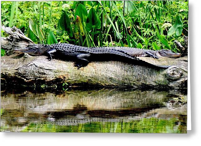 Florida Gators Greeting Cards - Lazy Days Greeting Card by Lisa Scott