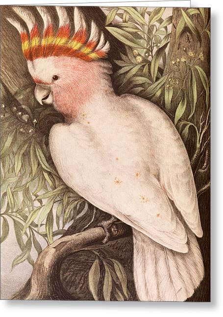Sayers Greeting Cards - Leadbeaters Cockatoo. Plyctolophus leadbeateri Greeting Card by James Whitley Sayer