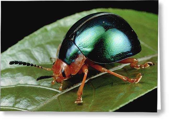 Animals And Insects Greeting Cards - Leaf Beetle from South Africa Greeting Card by Mark Moffett
