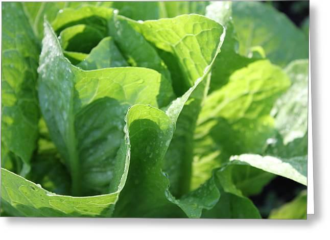 Lettuce Greeting Cards - Leaf Lettuce Greeting Card by Lauri Novak