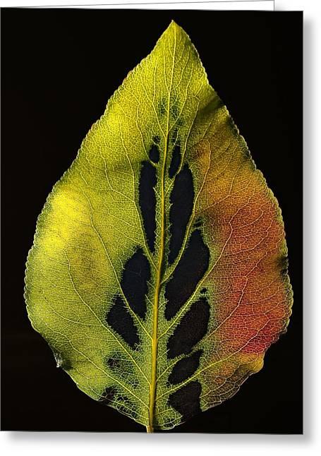 Leaf Still Life Greeting Card by Robert Ullmann