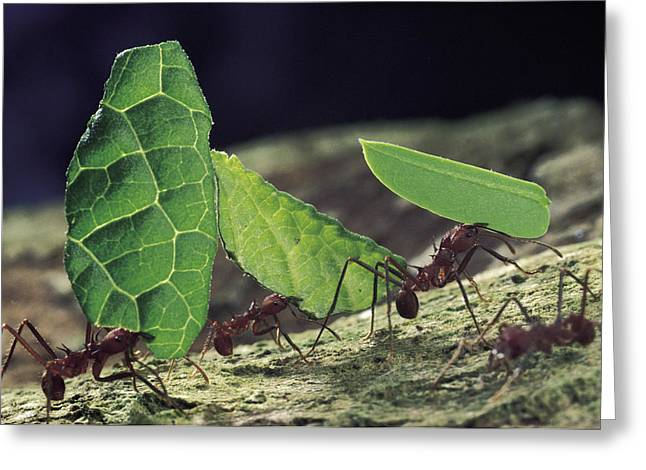 Leafcutter Ant Atta Cephalotes Workers Greeting Card by Mark Moffett