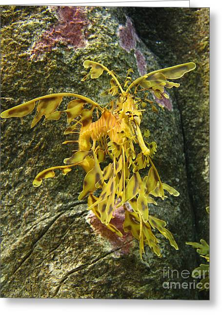 Leafy Sea Dragon Photographs Greeting Cards - Leafy Sea Dragon Against Colorful Rocks Greeting Card by Max Allen