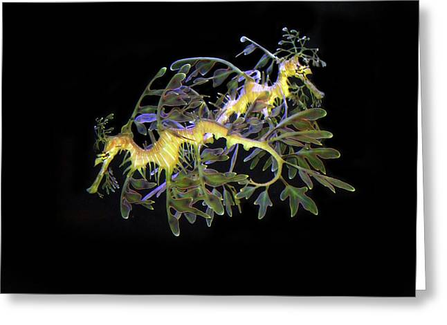 Leafy Sea Dragons Greeting Card by Anthony Jones