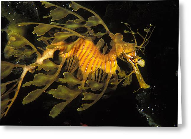 Leafy Sea Dragon Photographs Greeting Cards - Leafy Seadragon, Off Kangaroo Island Greeting Card by James Forte