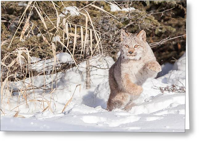 Bobcats Greeting Cards - Leaping Bobcat Greeting Card by Sandy Brooks