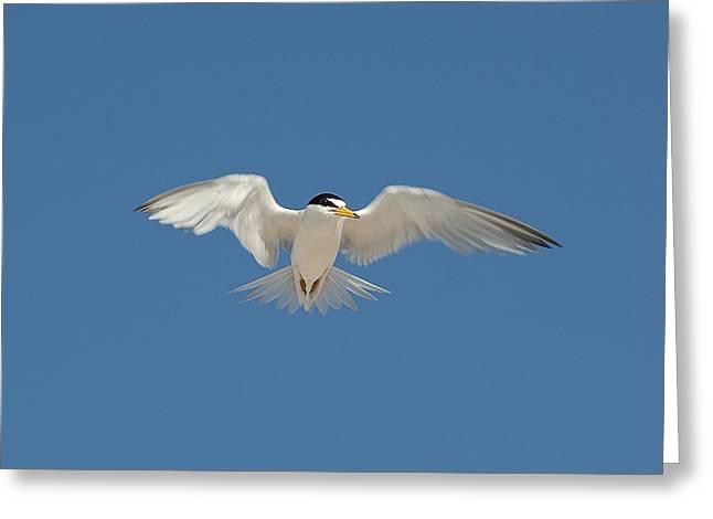Least Tern 2 Greeting Card by Kenneth Albin