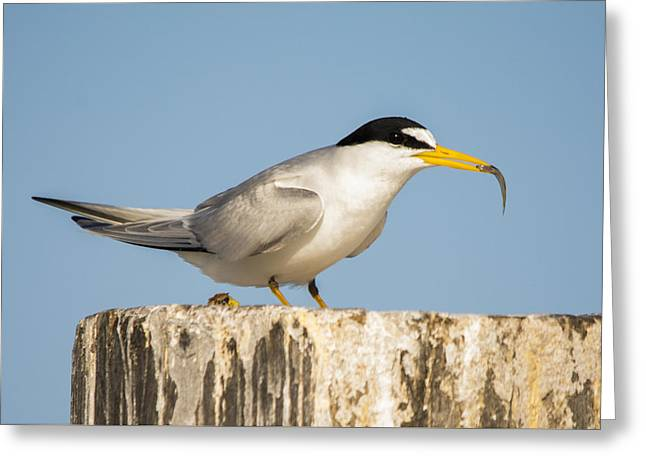Seabirds Greeting Cards - Least Tern with a Snack Greeting Card by Karl Mahnke