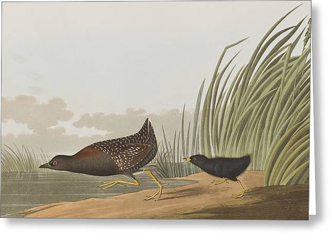 Baby Animal Drawings Greeting Cards - Least Water Hen Greeting Card by John James Audubon