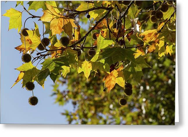 Leaves In The Autumn Sun Greeting Card by Zeljko Dozet