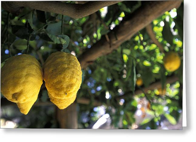 Lemons Hanging From A Lemon Tree Greeting Card by Richard Nowitz