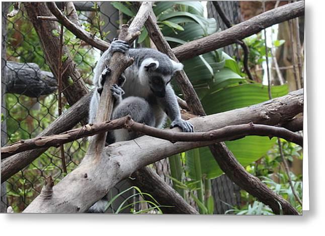 Tim Michael Greeting Cards - Lemur Scared of Heights Greeting Card by Tim Michael Ufferman