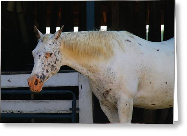 Kentucky Horse Park Photographs Greeting Cards - Leopard Appaloosa Greeting Card by Kathryn Meyer