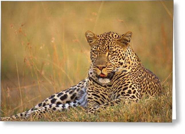 Big Five Greeting Cards - Leopard Greeting Card by Johan Elzenga