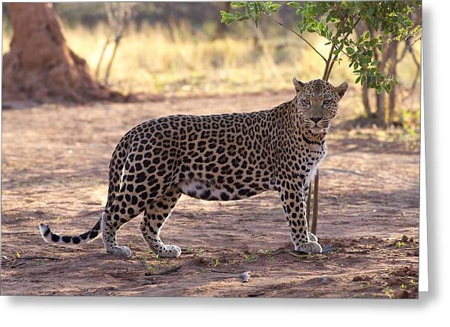 Large Cats Greeting Cards - Leopard Greeting Card by Keith Levit