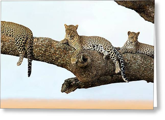 Leopard Panthera Pardus Family Sitting Greeting Card by Panoramic Images