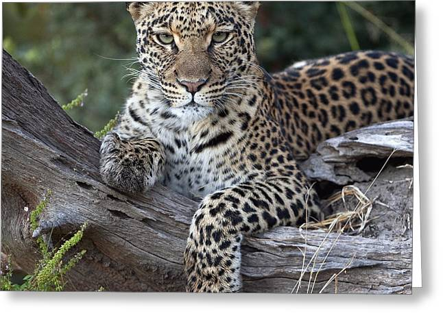 Resting Spot Greeting Cards - Leopard Panthera Pardus Resting Greeting Card by Sergey Gorshkov