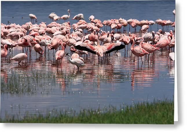 Lesser Flamingo, Lake Nakuru, Kenya Greeting Card by Aidan Moran