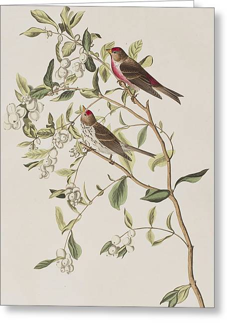 Green Leafs Drawings Greeting Cards - Lesser Red-Poll Greeting Card by John James Audubon