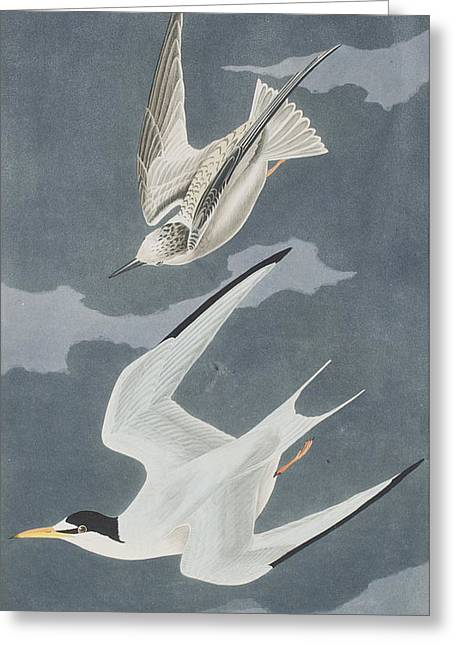 Lesser Tern Greeting Card by John James Audubon