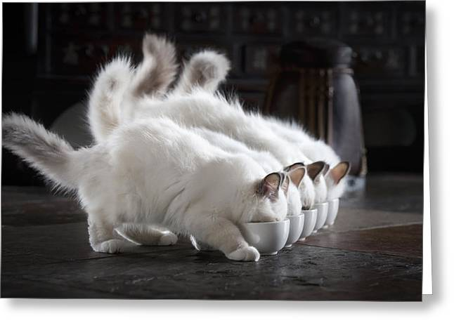 Cats Birman Greeting Cards - Let There Be Milk Greeting Card by Timo Lehto
