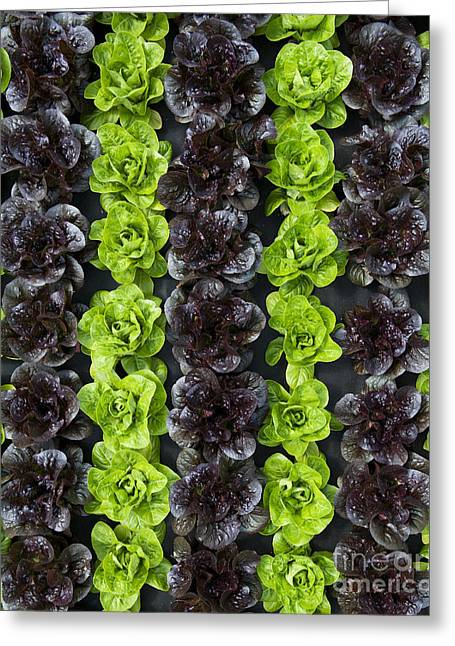 Home Grown Greeting Cards - Lettuce Rows Greeting Card by Tim Gainey