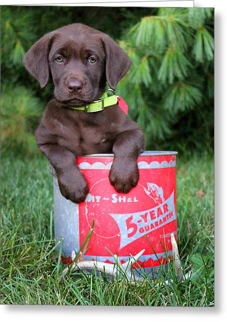 Chocolate Lab Greeting Cards - Letty Greeting Card by Brook Burling