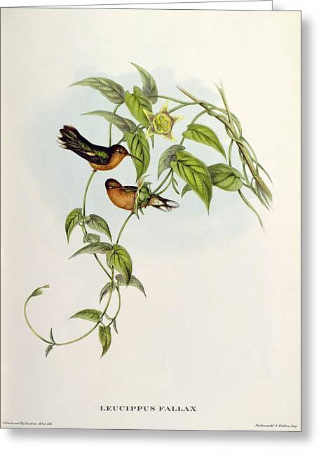 Nectar Greeting Cards - Leucippus Fallax Greeting Card by John Gould