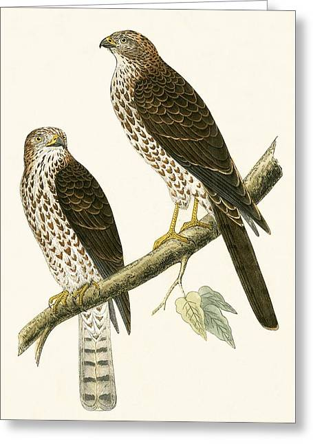 Levant Sparrow Hawk Greeting Card by English School
