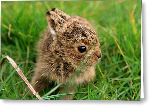Leveret In The Grass Greeting Card by Aidan Moran