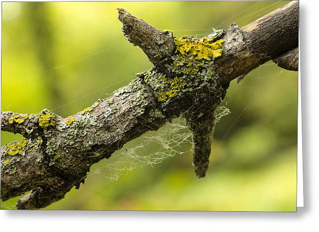 Lichen Photo Greeting Cards - Lichen on Dead Tree Branch Greeting Card by Donald  Erickson