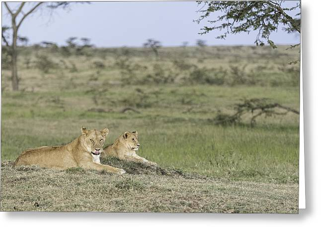 Lioness Greeting Cards - Lick at Me Greeting Card by Barry Aldridge