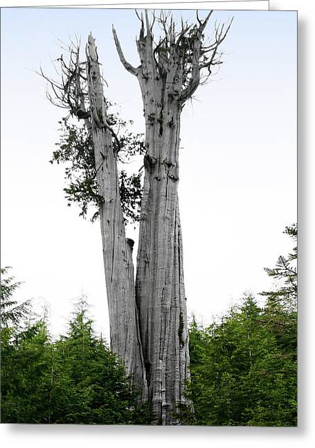 Strength Greeting Cards - Life at the Top - Duncan Cedar Olympic National Park WA Greeting Card by Christine Till